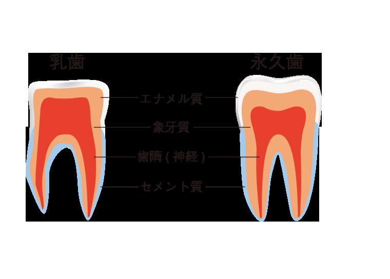 乳歯と永久歯の違い